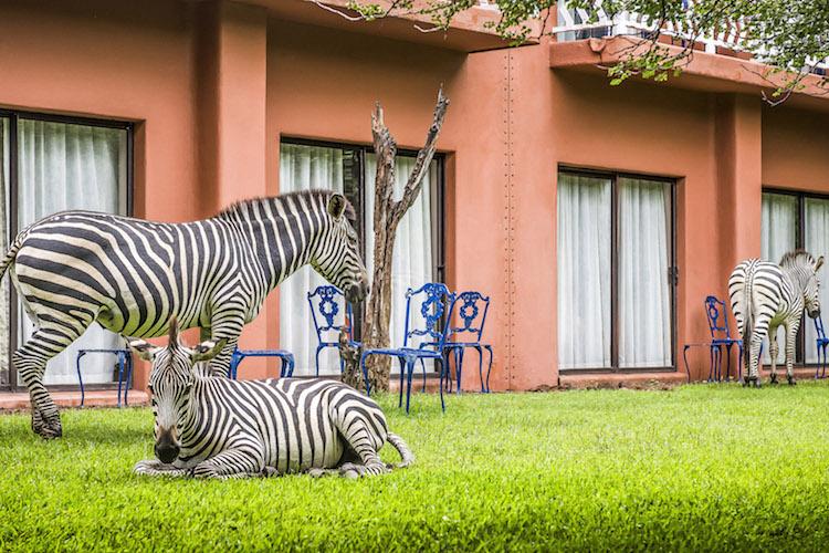 AVANI Rooms Zebras Grazing