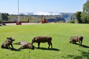 warthogs at vic falls