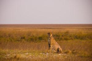cheetah, Liuwa Plain