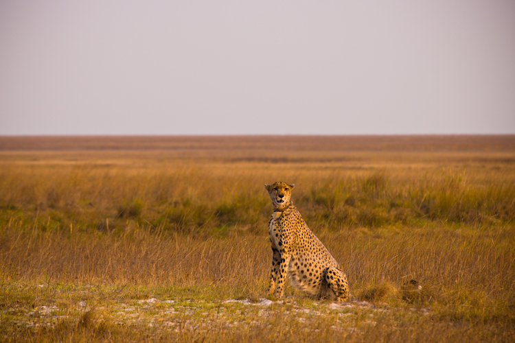 cheetah, Liuwa Plain