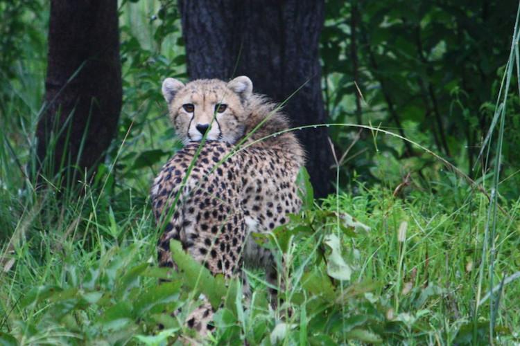 Cheetah, Kafue