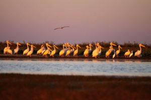 Pelican next to Liuwa pond