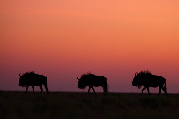 Wildebeest silhouetted against the sunset