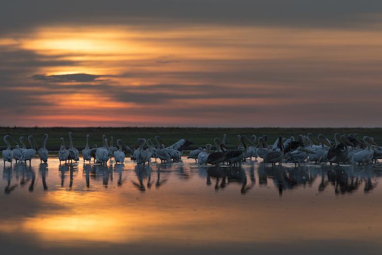 pelican at sunset liuwa plain