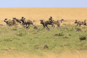 wild dogs, liuwa plain
