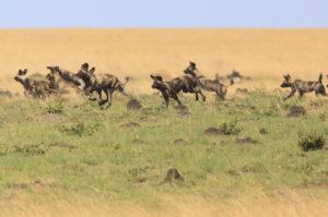 wild dogs, liuwa plain
