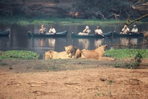 Canoeing with Lion at the Lower Zambezi National Park
