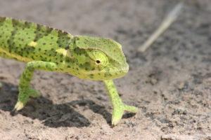 Chameleon, Kafue