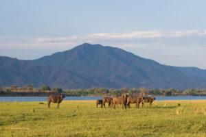 Buffalo lower zambezi