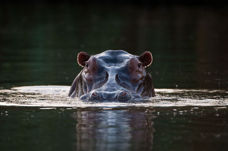 Hippo in the Zambezi River