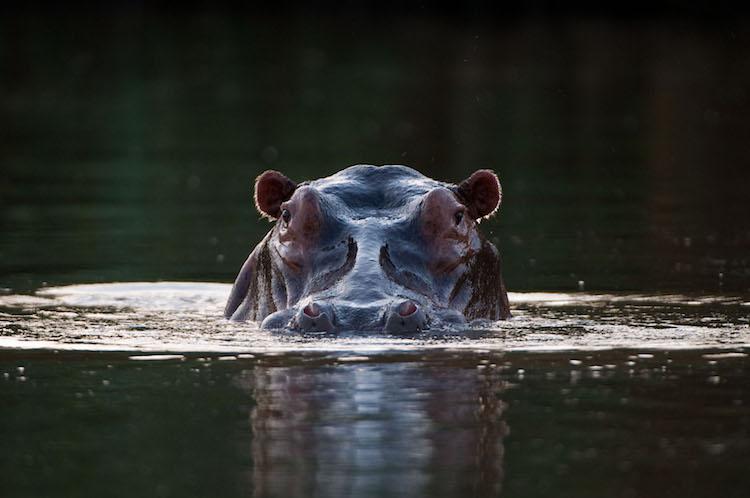 Hippo in the Zambezi River