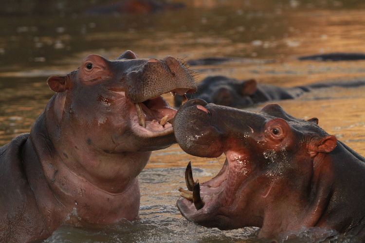 Hippos in South Luangwa