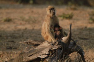 Baboon, South Luangwa