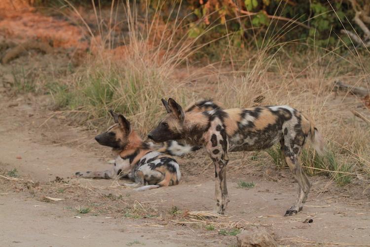 Wild Dog, South Luangwa
