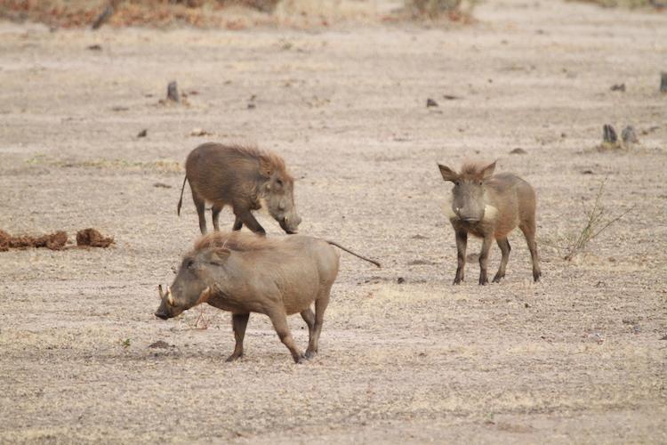 Warthog, South Luangwa