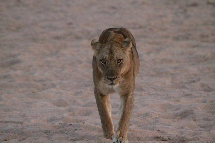 Lion, South Luangwa