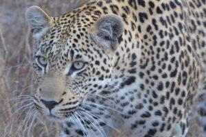 Leopard, Kafue