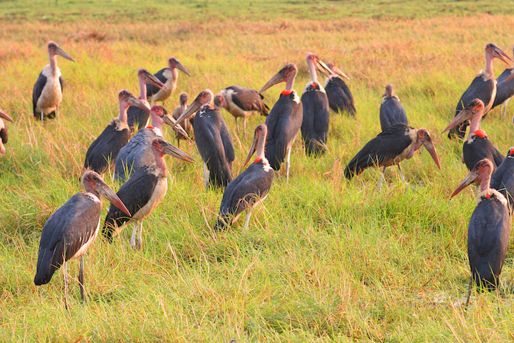 Marabou in Kafue National Park