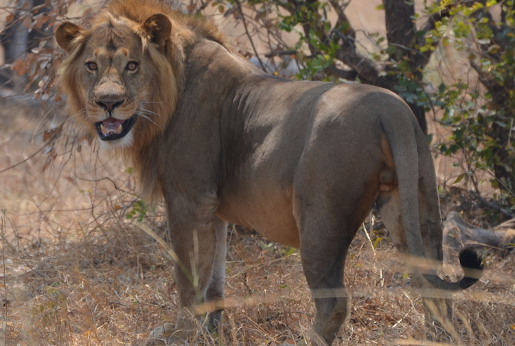 Ngoma lion, Kafue National Park