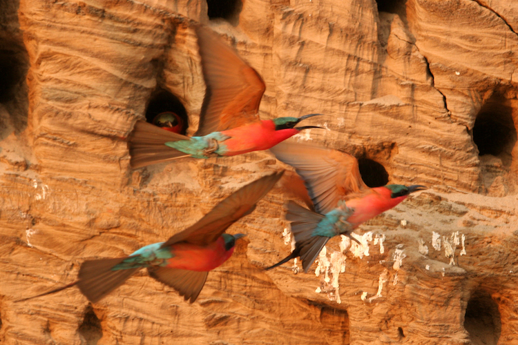 Carmine bee-eater, South Luangwa
