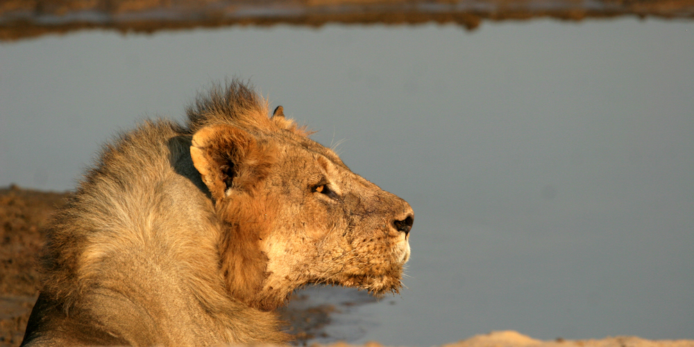 Lion at South Luangwa