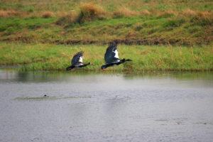 Spurwing goose, Kafue National Park