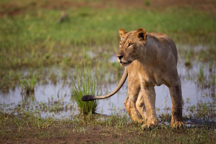 lioness at Lower Zambezi