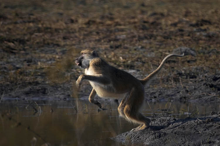 baboon at Kafue