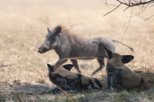 dogs and warthog in Kafue