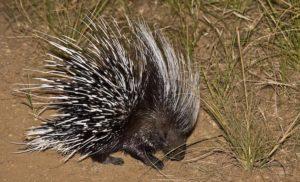 porcupine at Kafue