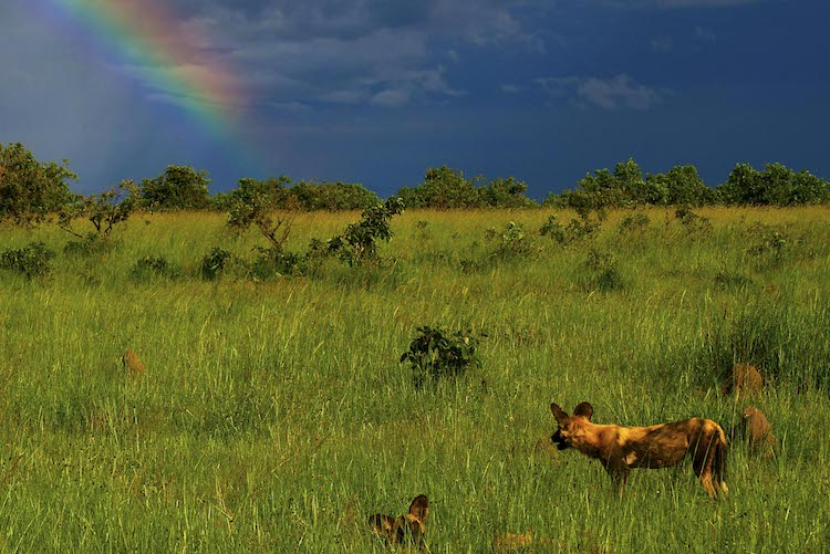 Wild dog at Kafue