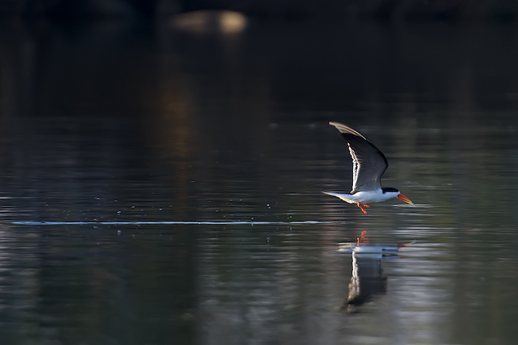Skimmer at Kafue
