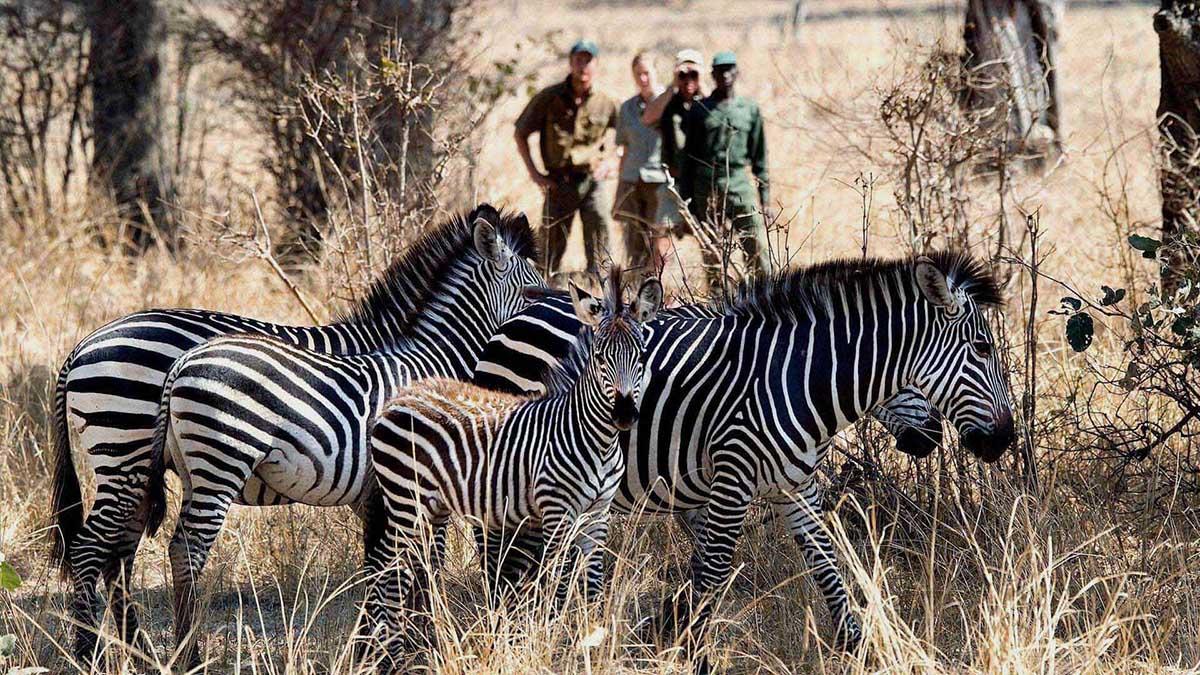 beach-bush-safari-packages-zambia-in-style-safaris-adventures-ocean-travel-wildlife-africa-zebra