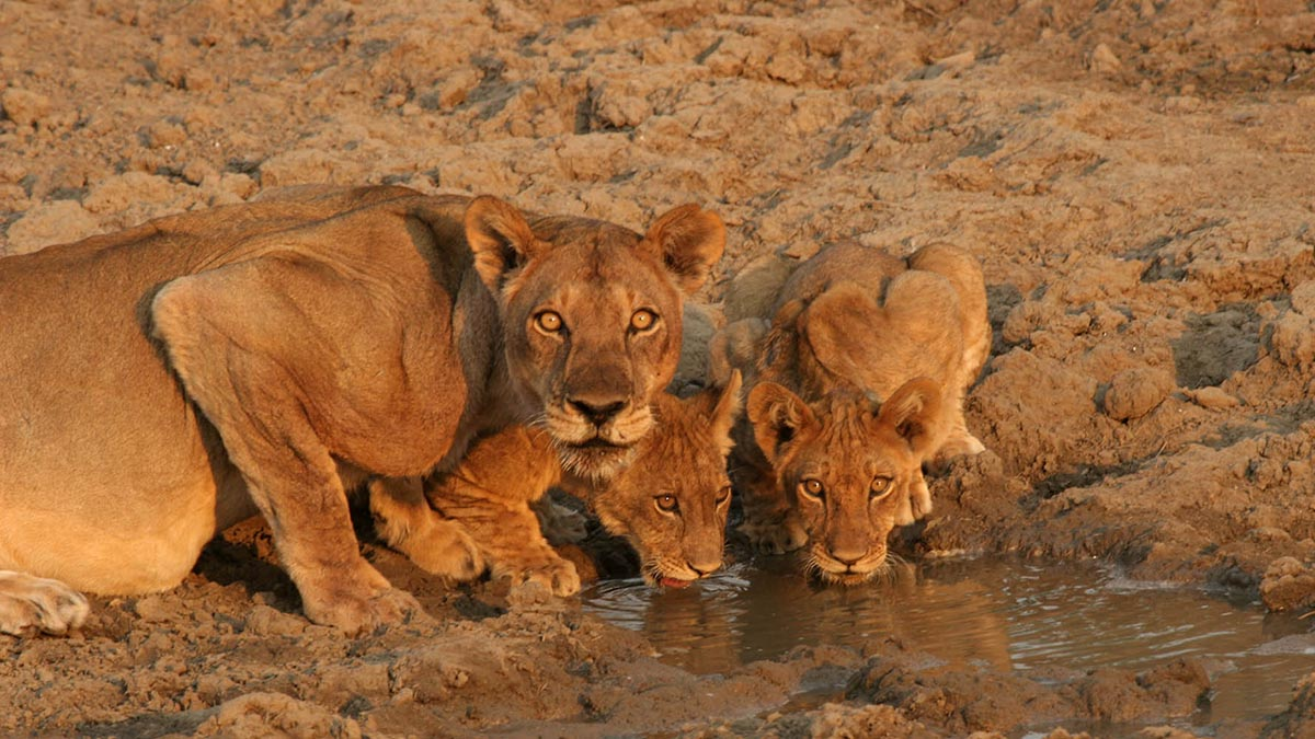 south-luangwa-national-park-luxury-photographic-beach-and-bush-zambia-in-style-tours-safari-packages-safaris-travel-wildlife-lions