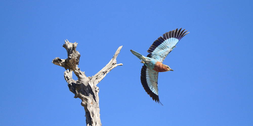 Lilac Breasted Roller, South Luangwa