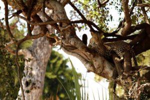 leopard, the lower zambezi