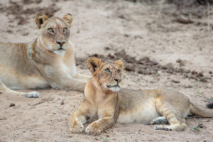 luambe camp, lions