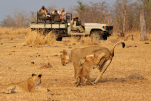 tafika, lions on game drive