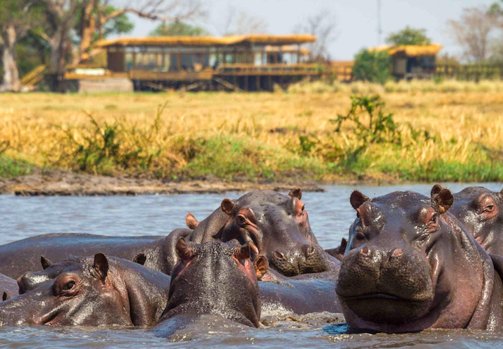 hippos at Shumba