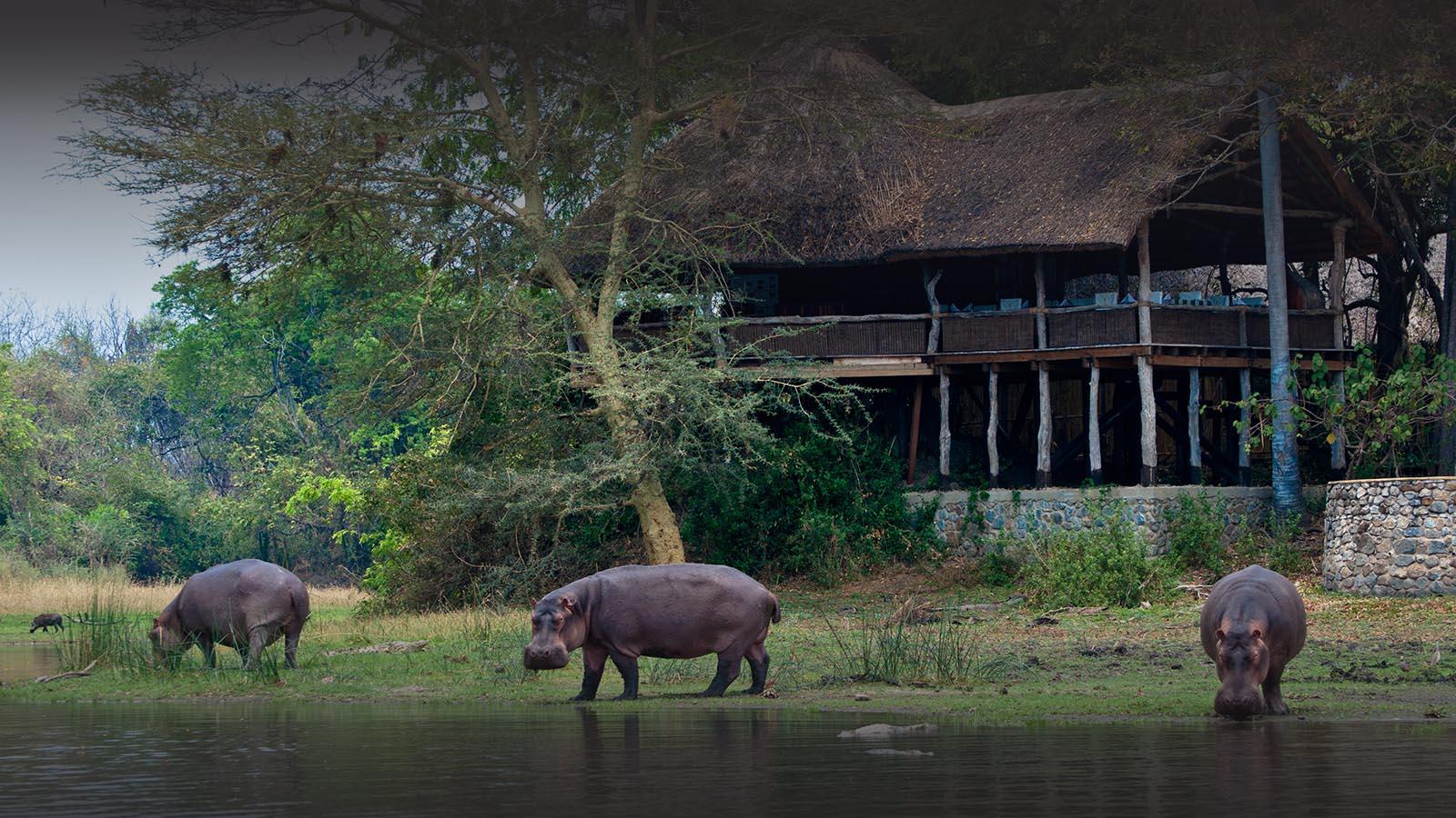 malawi-south-luangwa-green-season-zambia-in-style-safari-packages-tours-luxury-mvuu-lodge-hippos