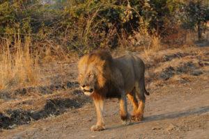 lion of south luangwa