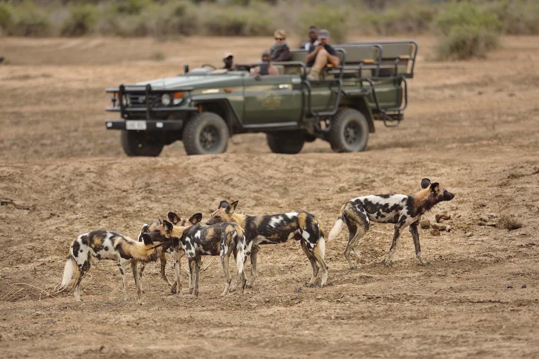 Lion Camp, wilddogs