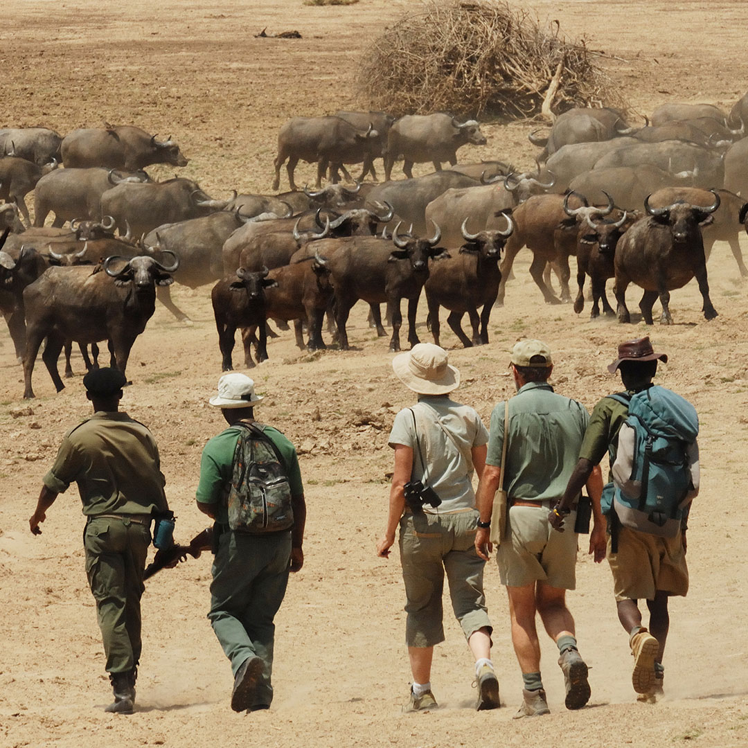 chikoko trails crocodile camp zambia-in-style-tours-safari-packages-lodges-explore-south-luangwa-national-park-walking-wildlife