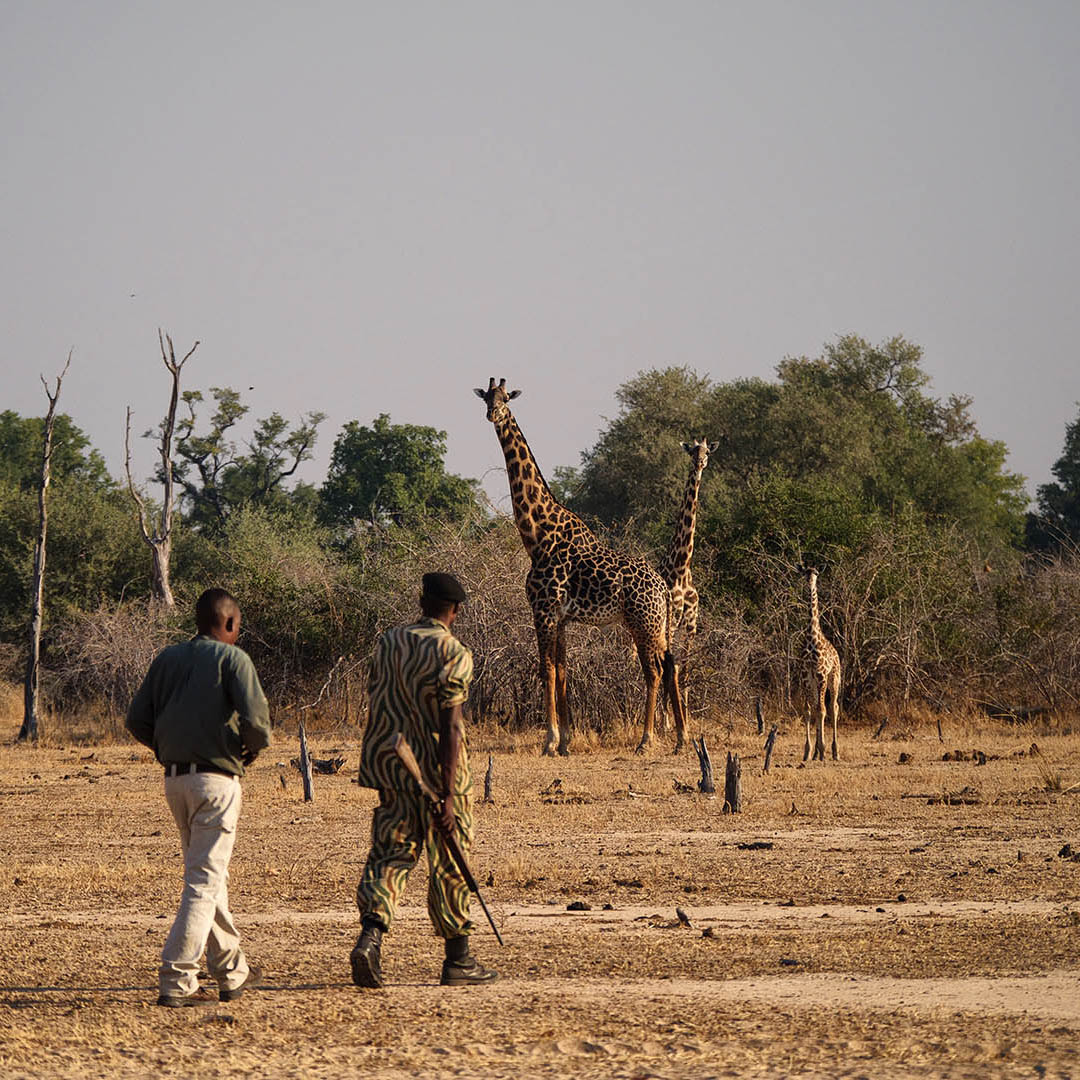 kakuli-beautiful-camp-lodge-zambia-in-style-tours-safari-packages-lodges-south-luangwa-national-park-giraffe-walking-safari