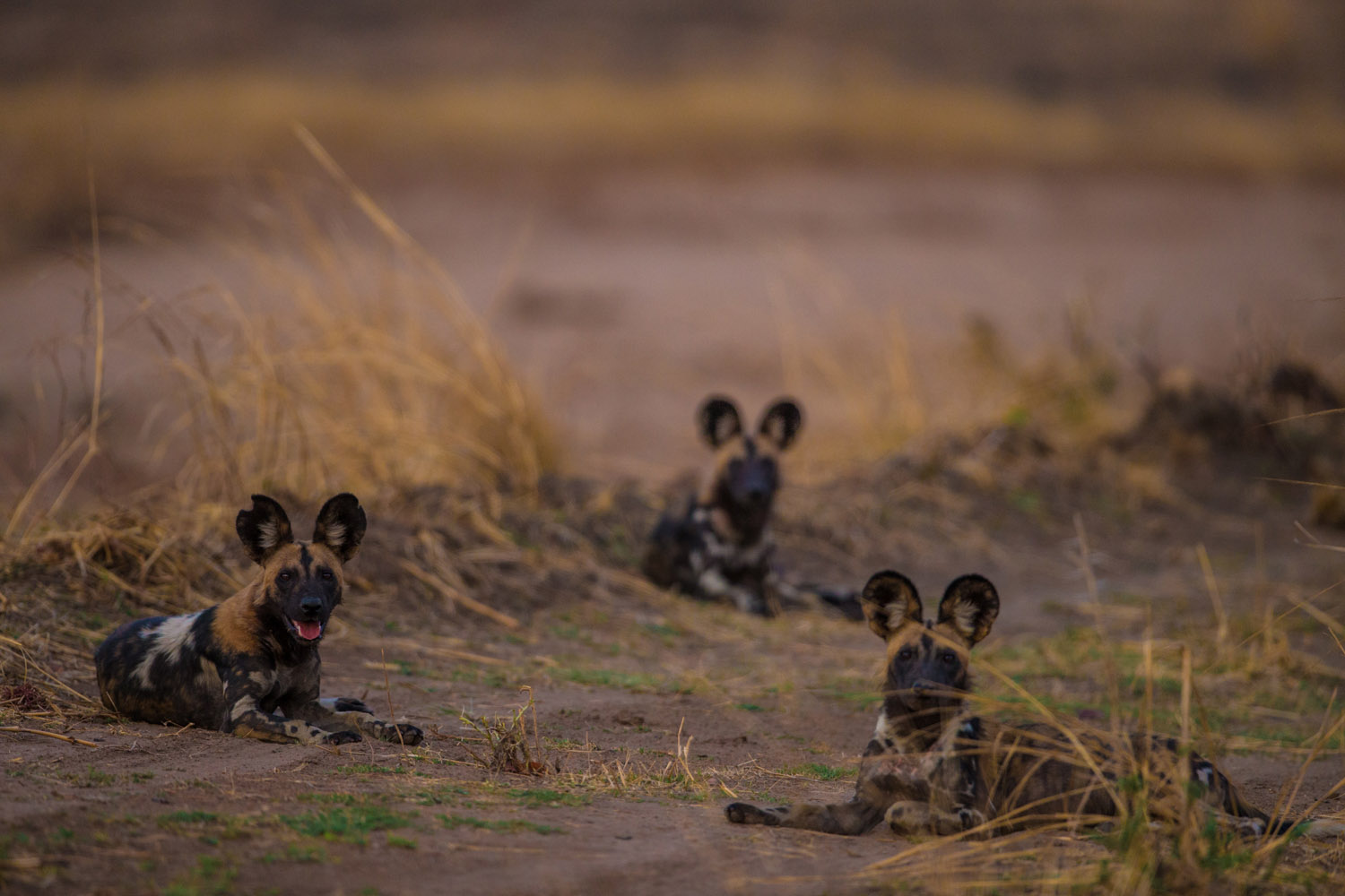 luambe-camp-lodge-zambia-in-style-tours-safari-packages-lodges-luambe-national-park-south-north-luangwa-african-wild-dogs