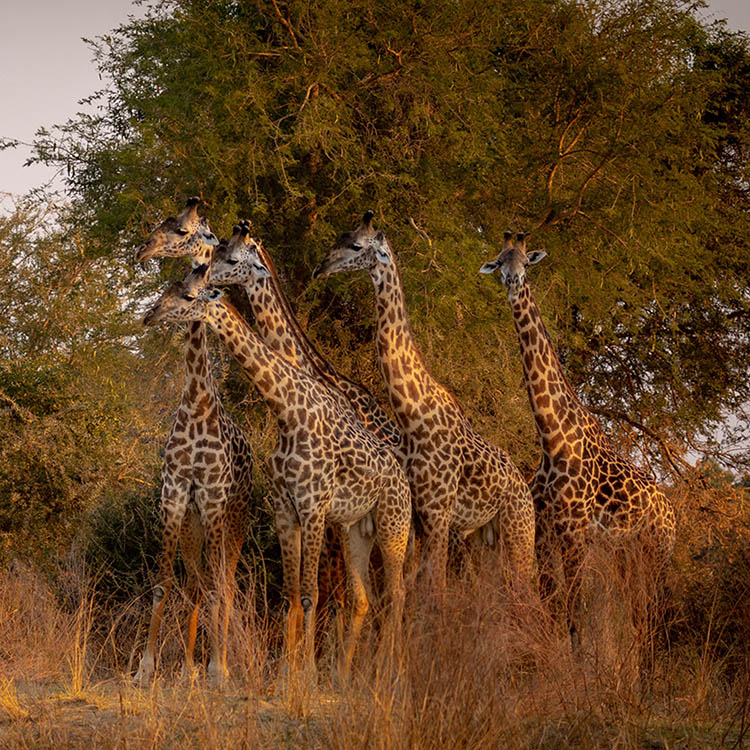 luambe-camp-lodge-zambia-in-style-tours-safari-packages-lodges-luambe-national-park-south-north-luangwa-giraffe