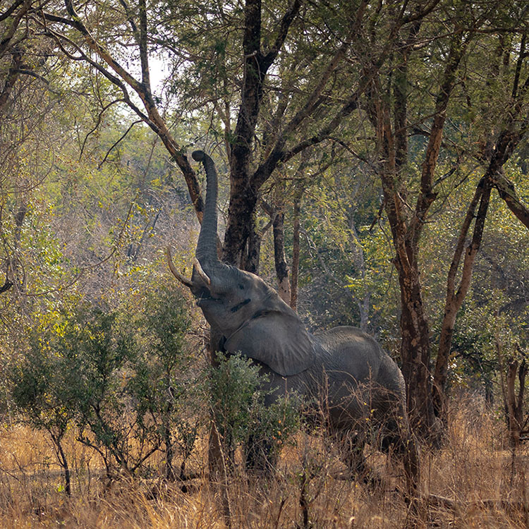 luambe-camp-lodge-zambia-in-style-tours-safari-packages-lodges-luambe-national-park-south-north-luangwa-single-elephant