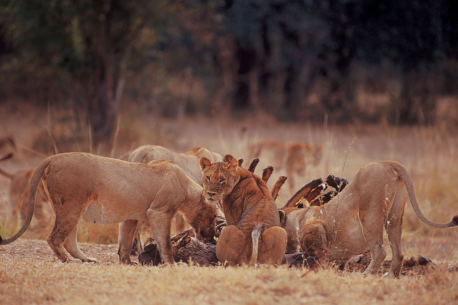 luangwa safari house lodge-zambia-in-style-tours-safari-packages-lodges-south-luangwa-national-park-lions-wildlife-game-drives simple bush ceremony