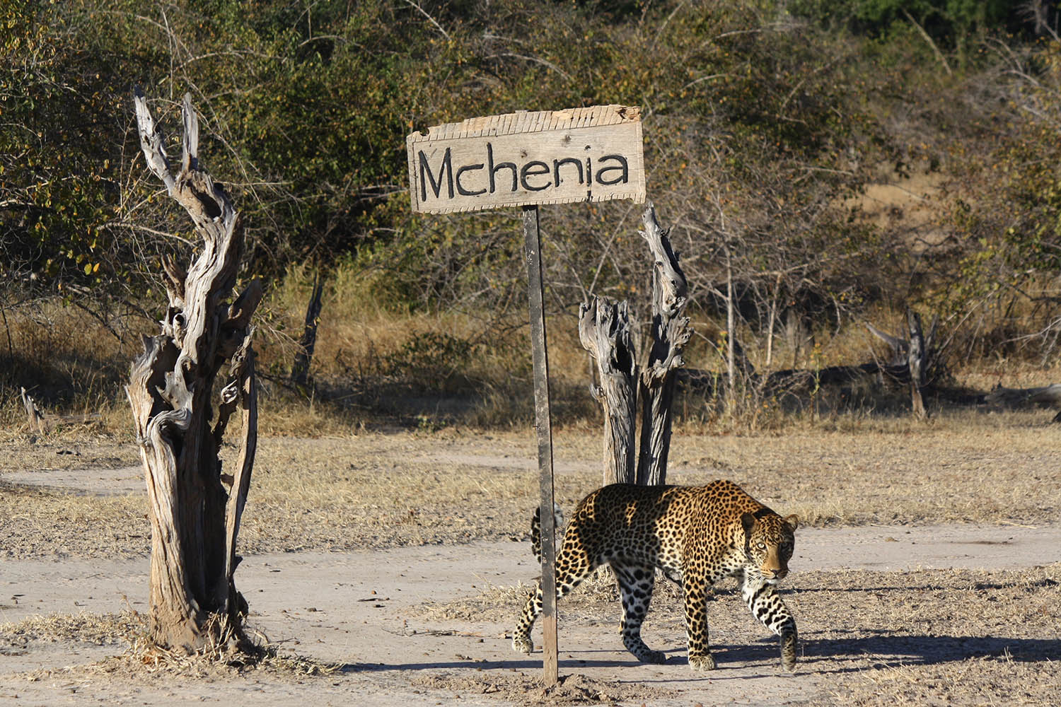 mchenja-bush-camp-lodge-zambia-in-style-tours-safari-packages-lodges-explore-south-luangwa-national-park-walking-leopard
