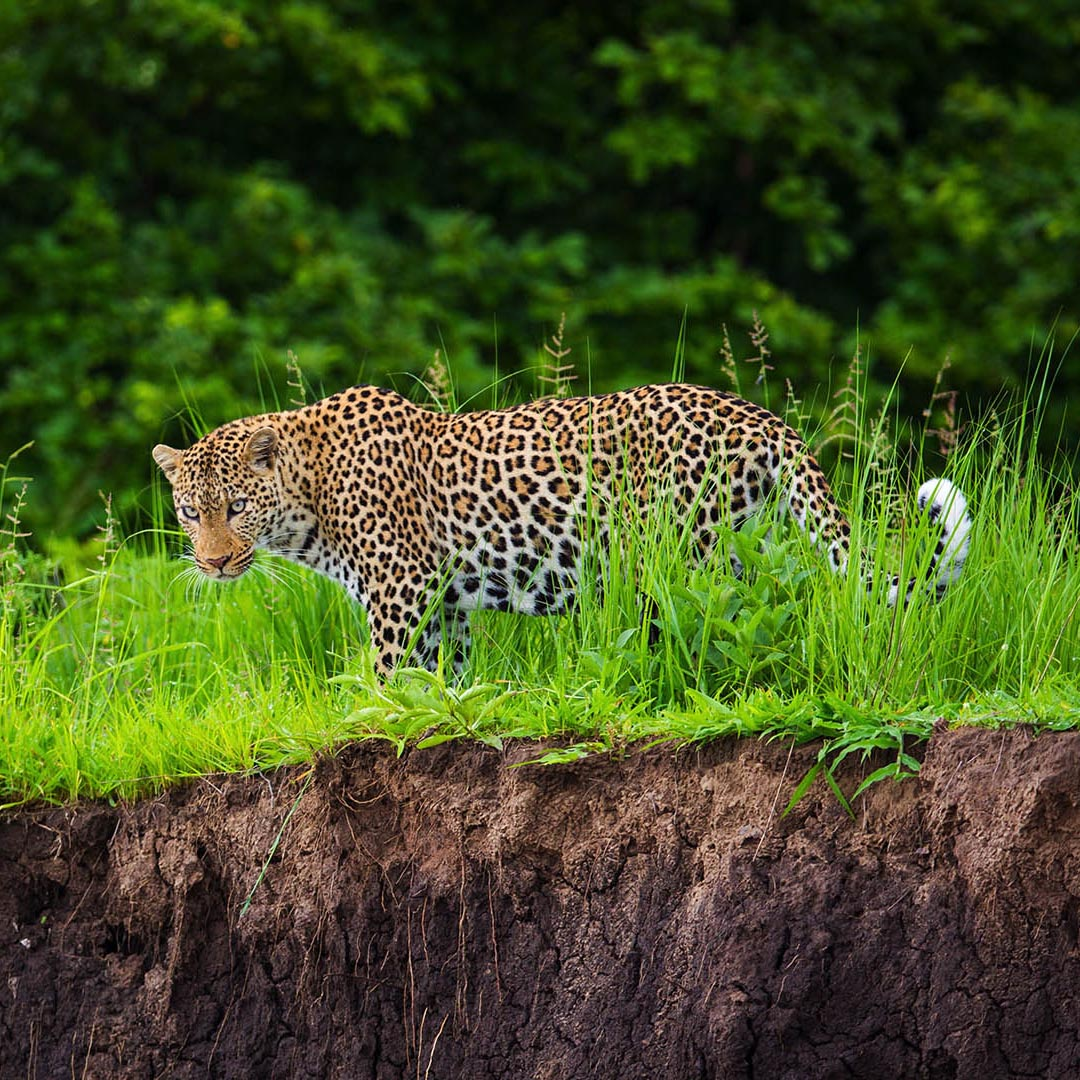 nsolo-lodge-zambia-in-style-tours-safari-packages-lodges-south-luangwa-national-park-leopard